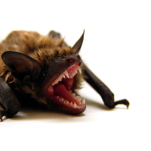 Removing bats- Some Tips - Bat Behavior and Biology