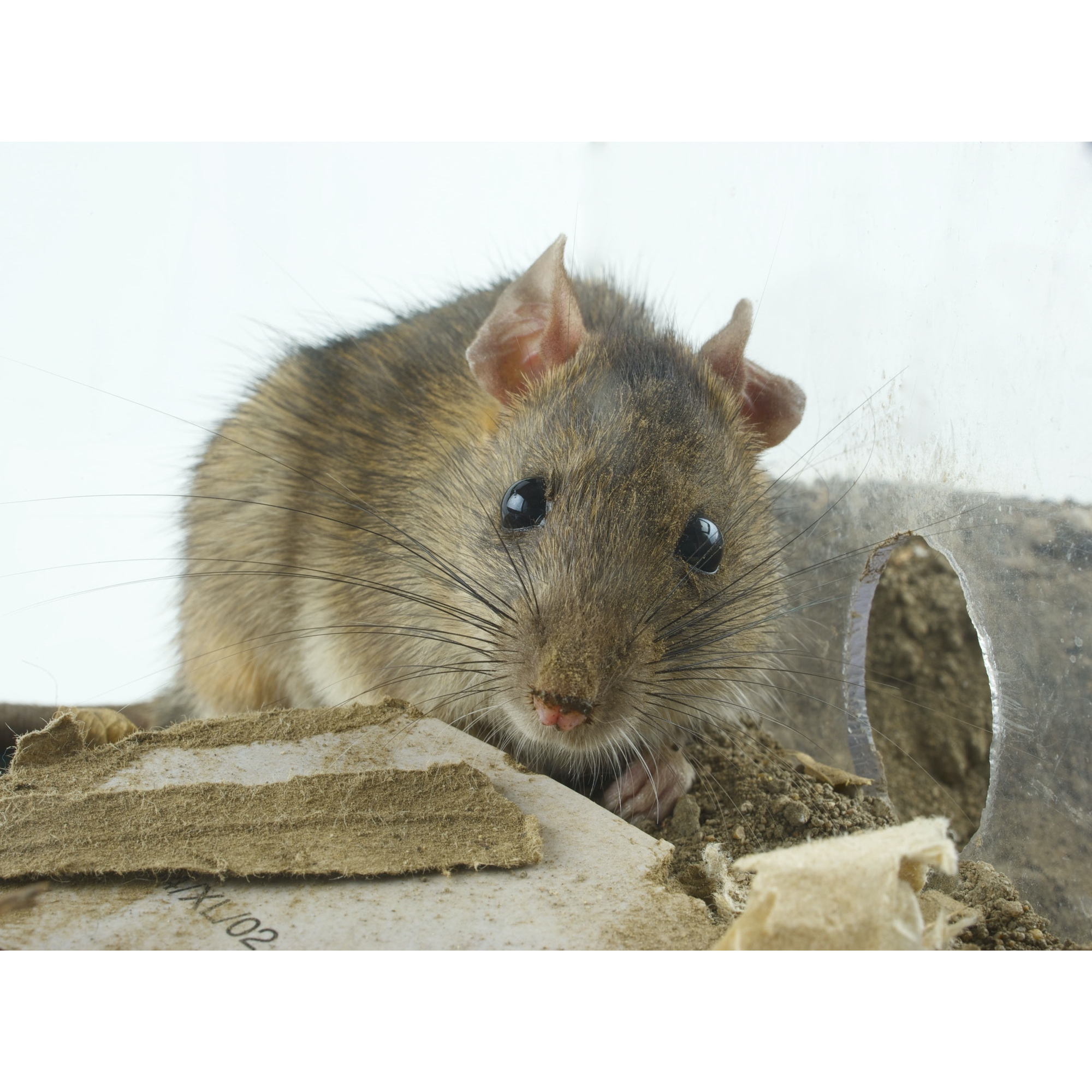 rodents facts and information