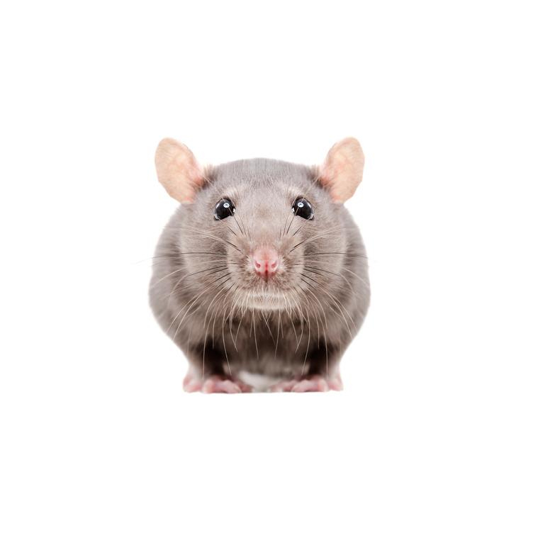 Rodent repellent - 3 Steps to Implement in your home